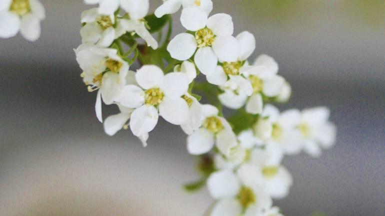 Spirea blomstrer nå – plukk inn!