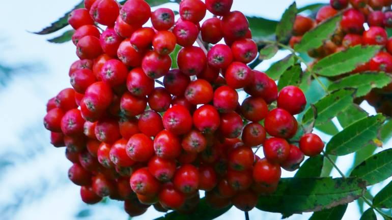 Rogn – fra natur til hage