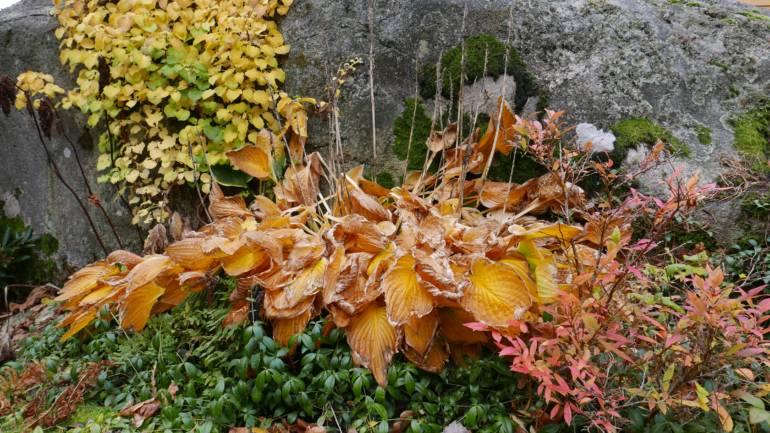 Høstklipping av stauder – ja eller nei?