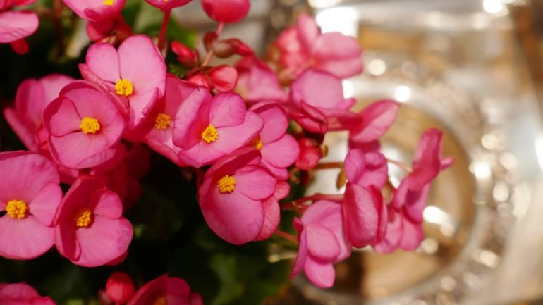 Juleglede med begonia