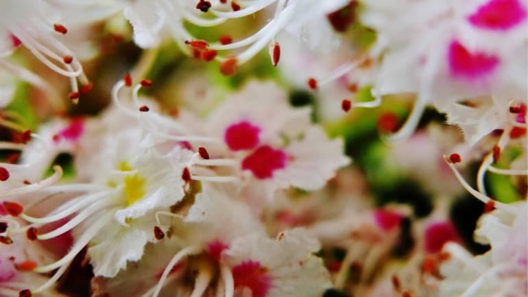 Når kastanjene blomstrer…