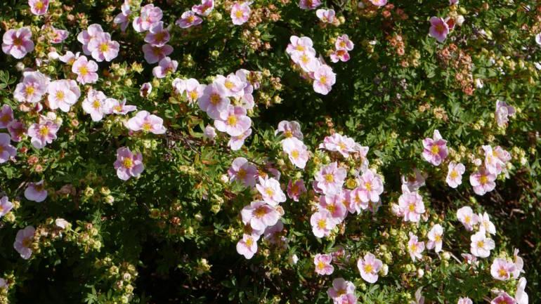 Høstblomstring med buskmure
