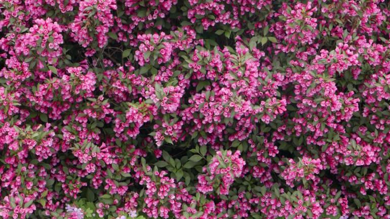 Roseklokkebusk – noe for din hage?