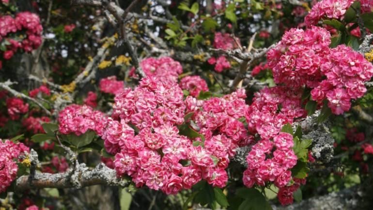 Rosehagtorn – et vakkert lite tre.