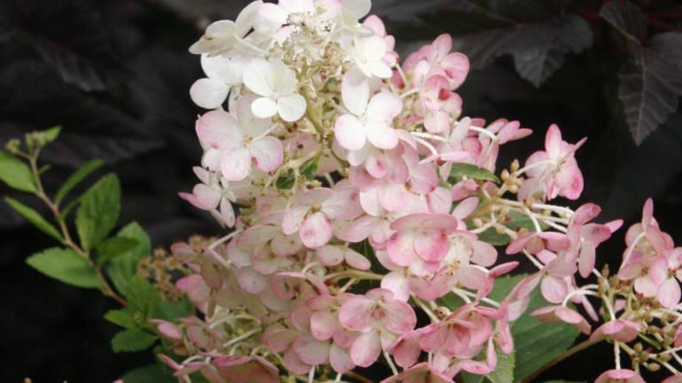 Syrinhortensia – den aller vakreste høstbusken!