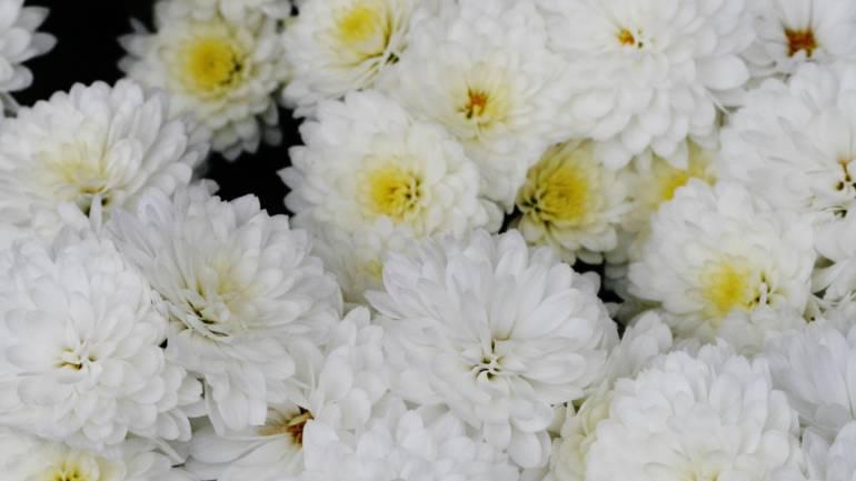 Krysantemum – sensommerplante nummer 1